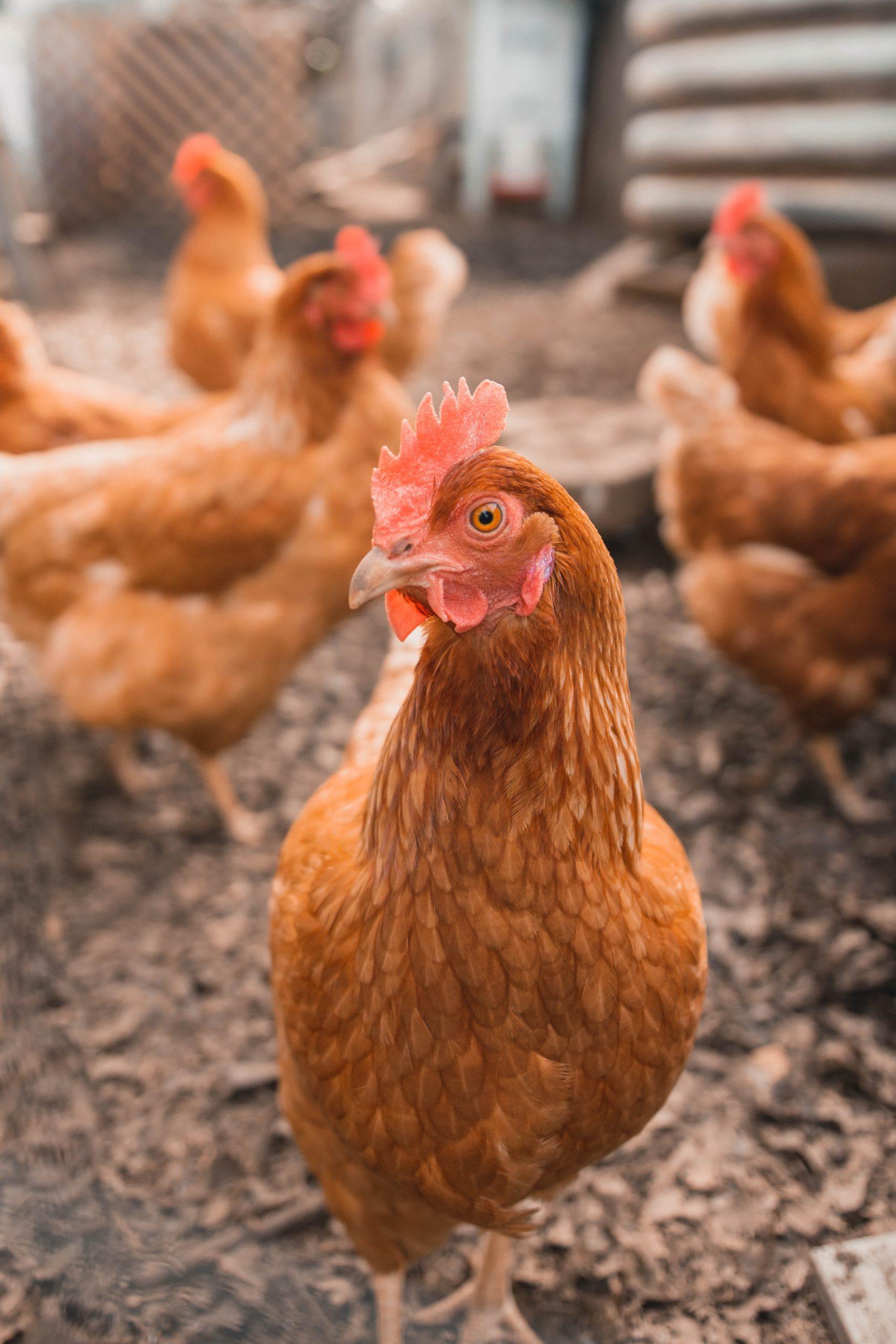 雞、鴨、鵝、家禽肉類營養特色?